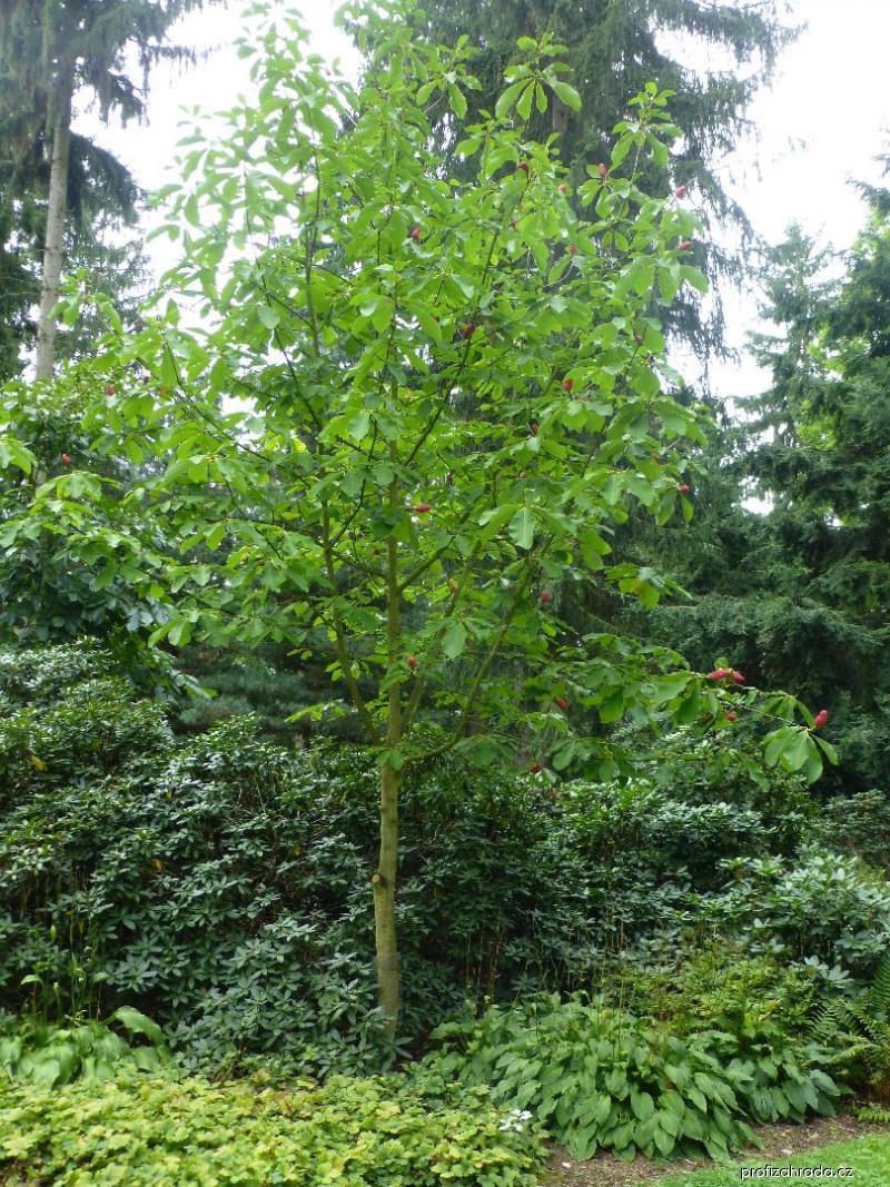 Šácholan opakvejčitý - habitus s plody (Magnolia obovata)