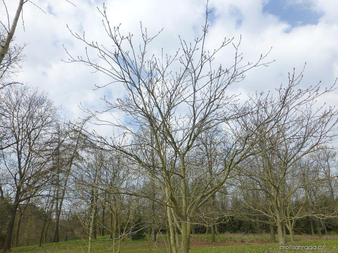 Ořešák mandžuský - habitus na konci března (Juglans mandshurica)