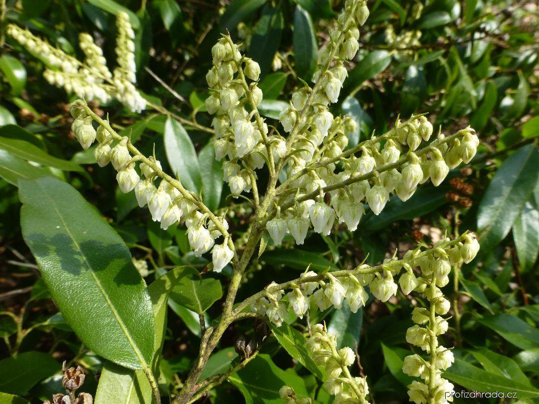 Pieris květnatá - větévka s květy (Pieris floribunda)