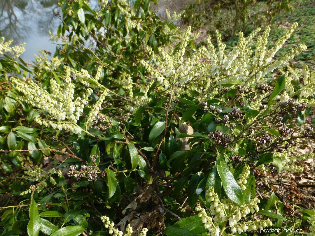 Pieris květnatá (Pieris floribunda)