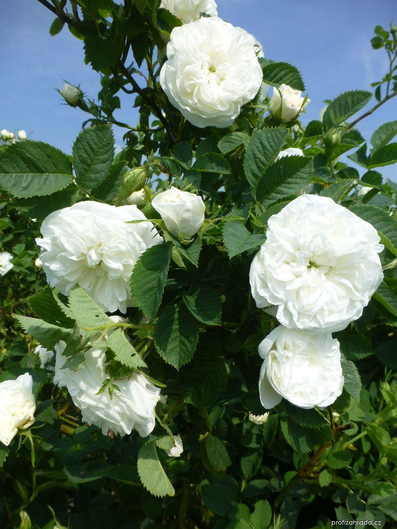 Růže Maxima (Rosa x alba)