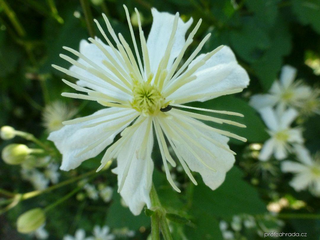 Plamének mandžuský - květ (Clematis mandshurica)
