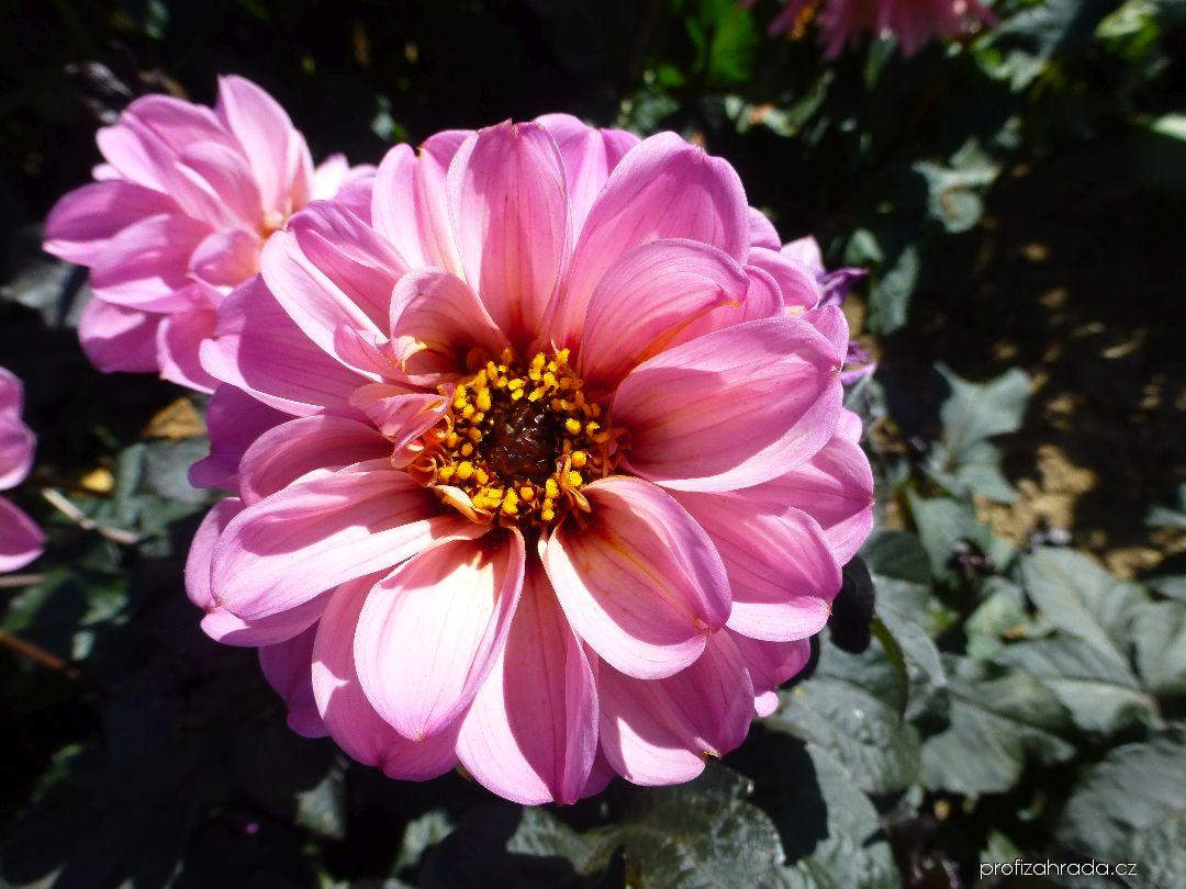 Jiřina Abraxas - květ (Dahlia)
