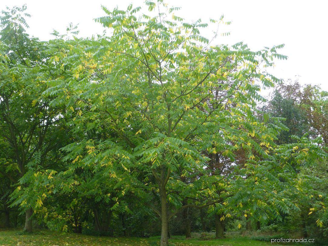 Ořešák mandžuský - habitus na konci léta (Juglans mandshurica)