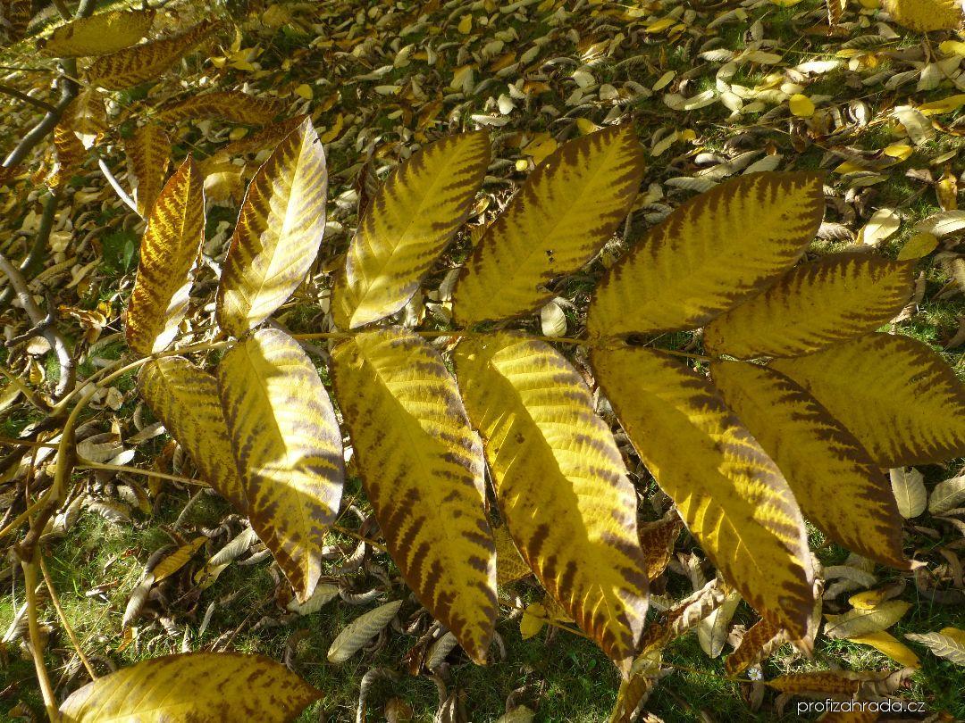 Ořešák mandžuský - podzimní list (Juglans mandshurica)