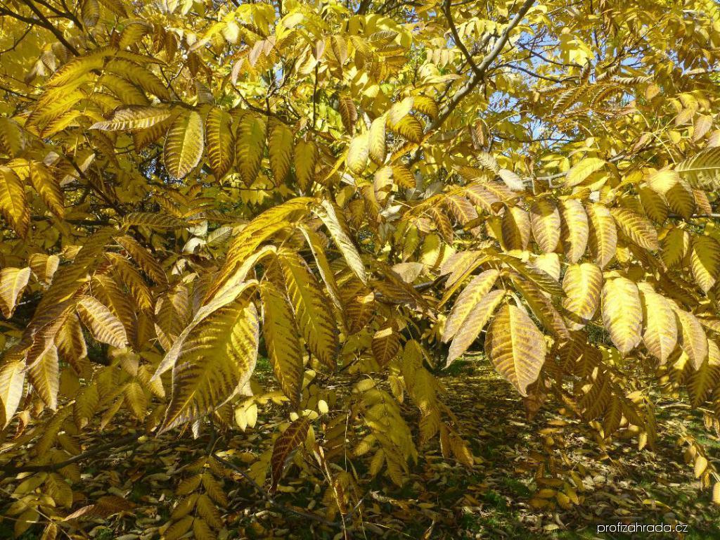 Ořešák mandžuský - podzimní zbarvení (Juglans mandshurica)