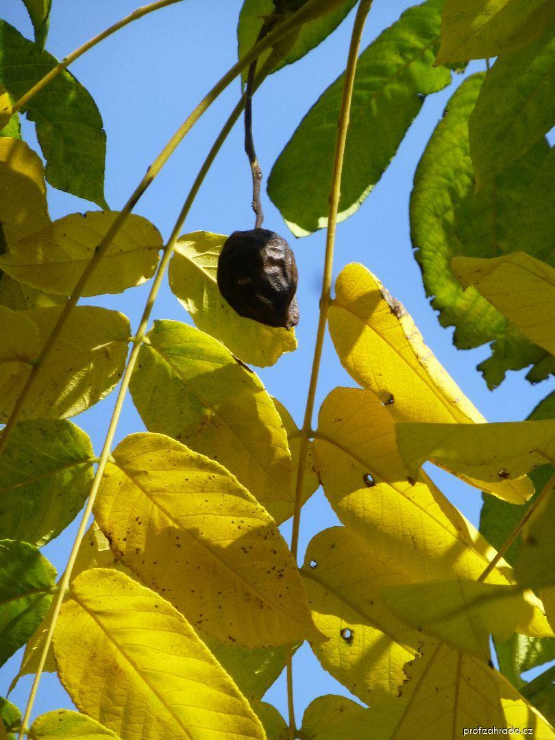 Ořešák mandžuský - větévka s plodem (Juglans mandshurica)