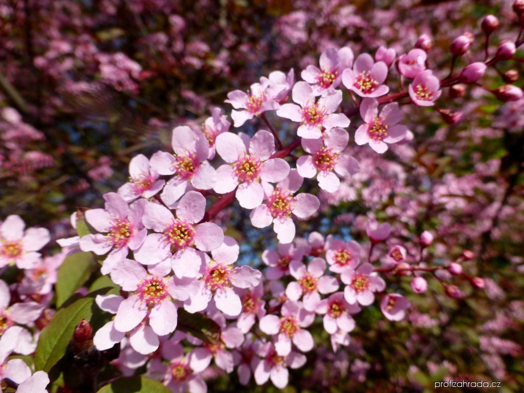 Střemcha obecná Colorata - větévky s květy (Prunus padus)