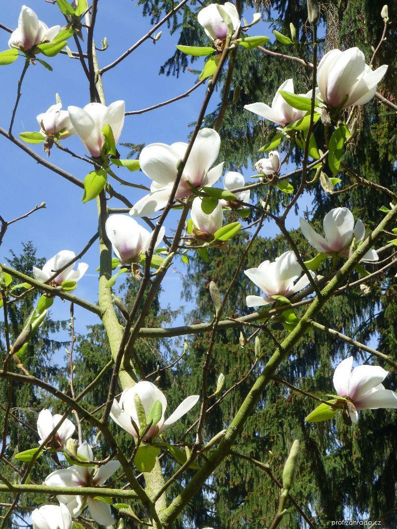 Šácholan Phelan Bright (Magnolia hybrida)