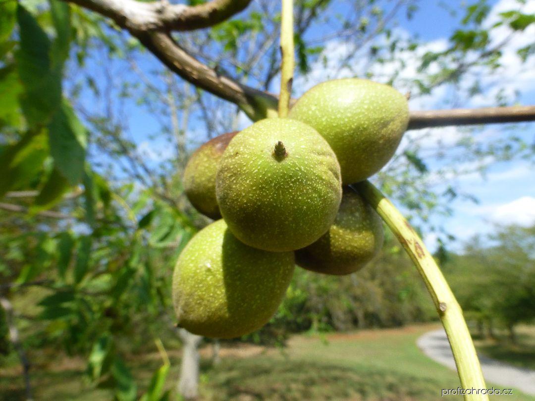 Ořešák mandžuský - větve s plody (Juglans mandshurica)