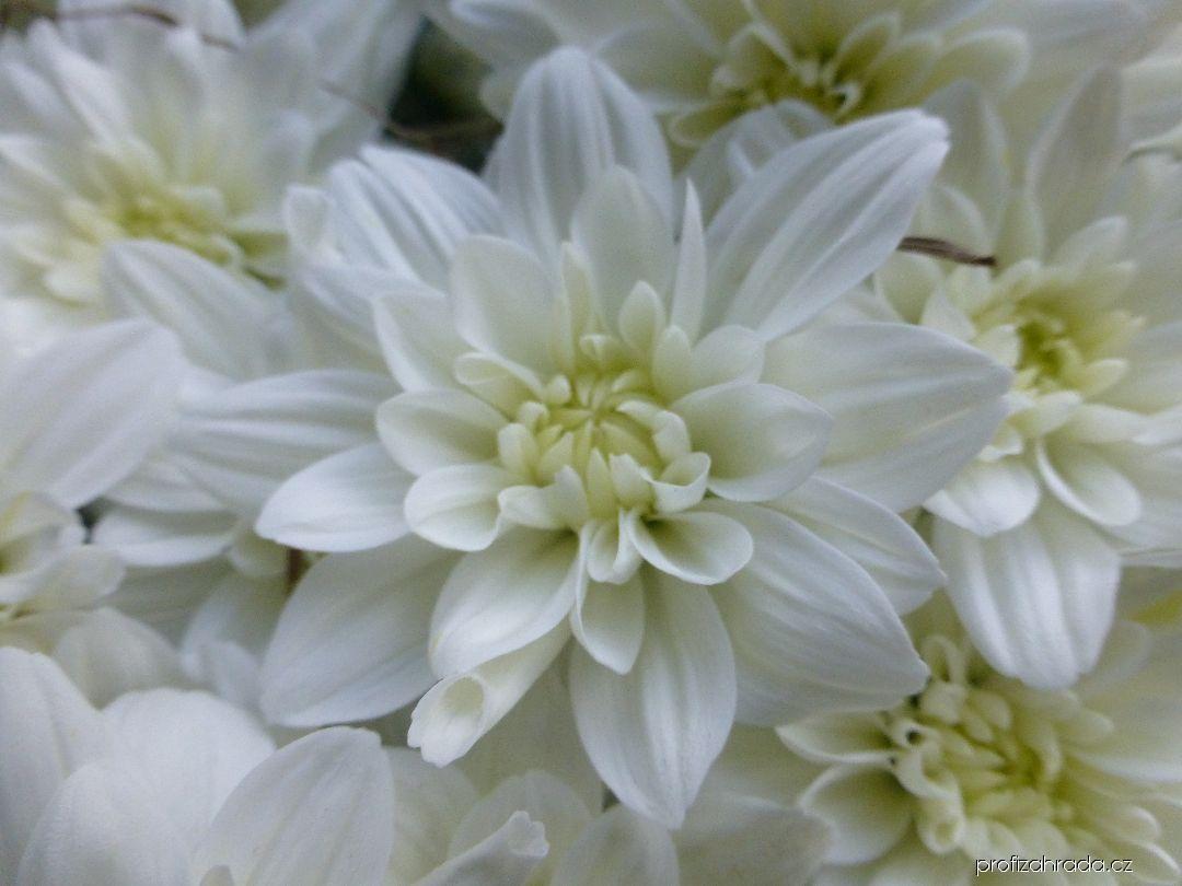 Listopadka zahradní Tosca bílá (Chrysanthemum x grandiflorum)