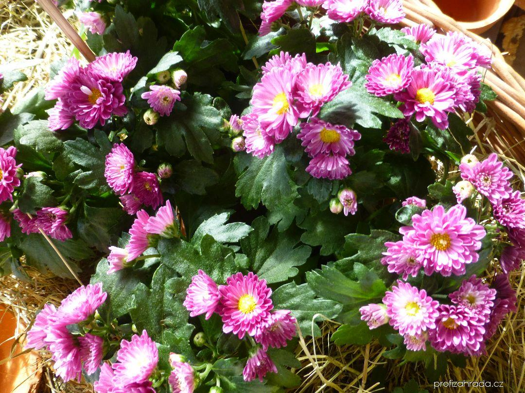 Listopadka zahradní Renata (Chrysanthemum x grandiflorum)