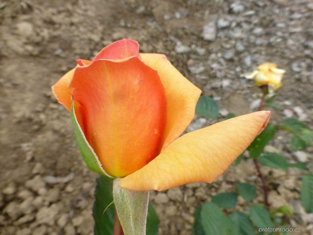 Růže Apricot Silk (Rosa)