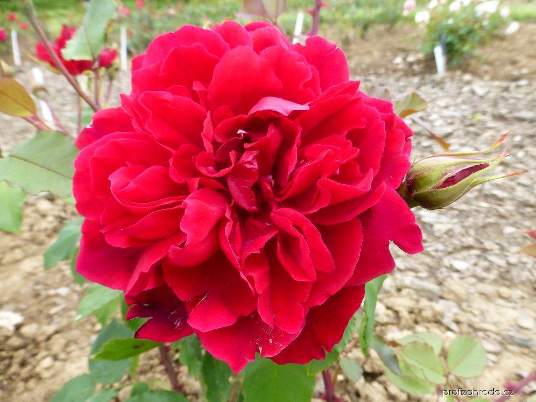 Růže Bezruč (Rosa)