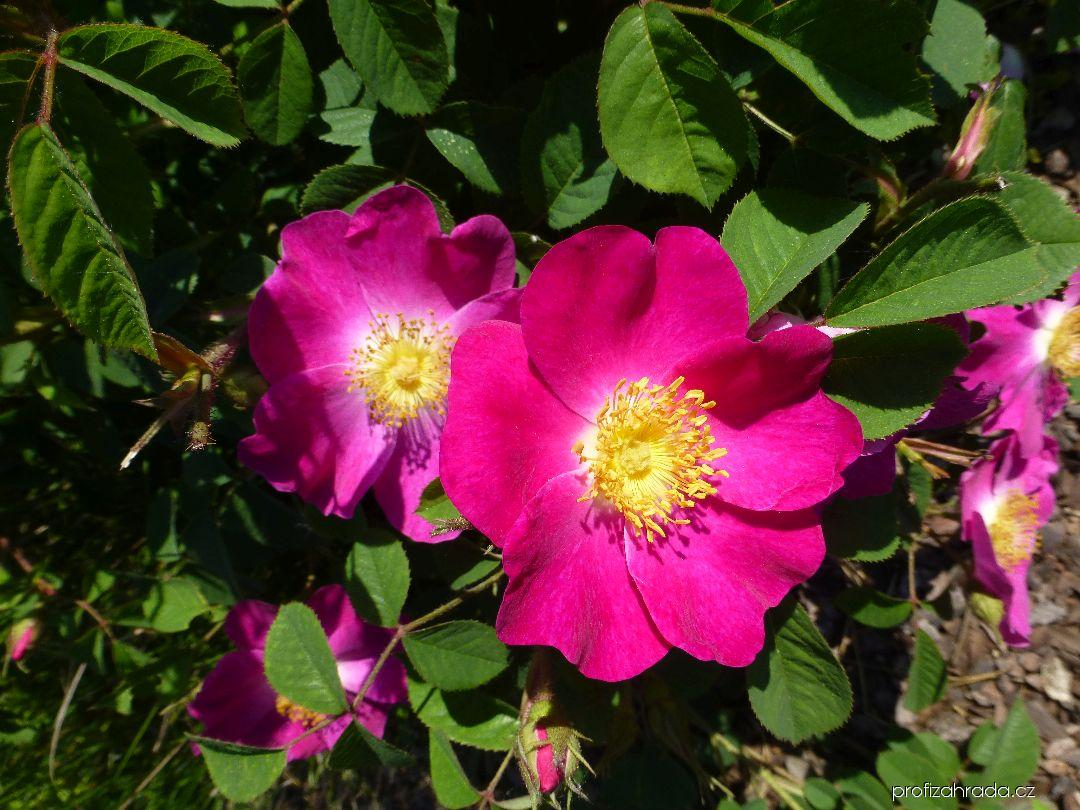 Růže galská (Rosa gallica)