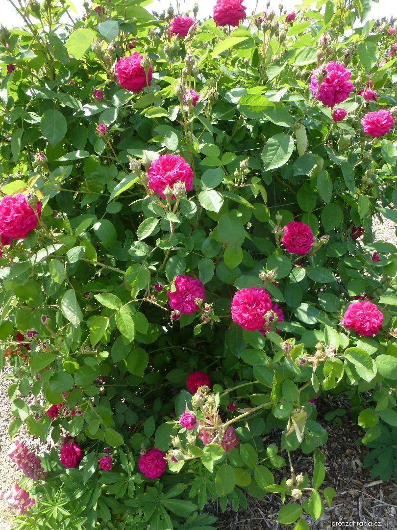Růže Bardou Job (Rosa)