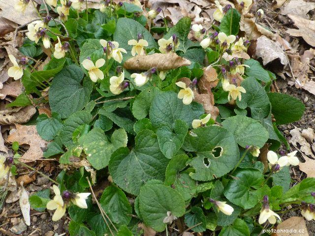 Violka vonná Vanilla (Viola odorata)