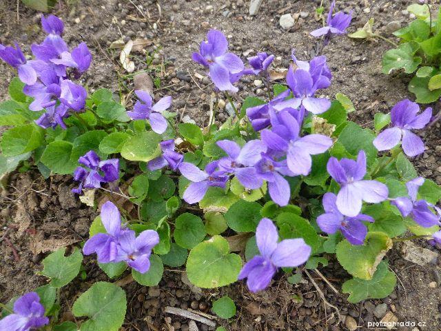 Violka vonná Königin Charlotte (Viola odorata)