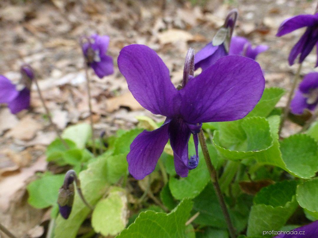 Violka vonná Lianne (Viola odorata)