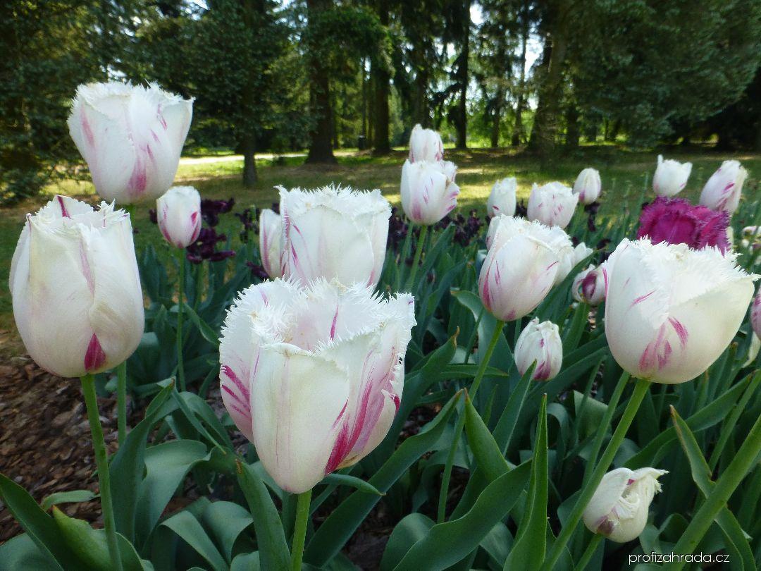 Tulipán Carrousel - Třepenité tulipány (Tulipa x hybrida)