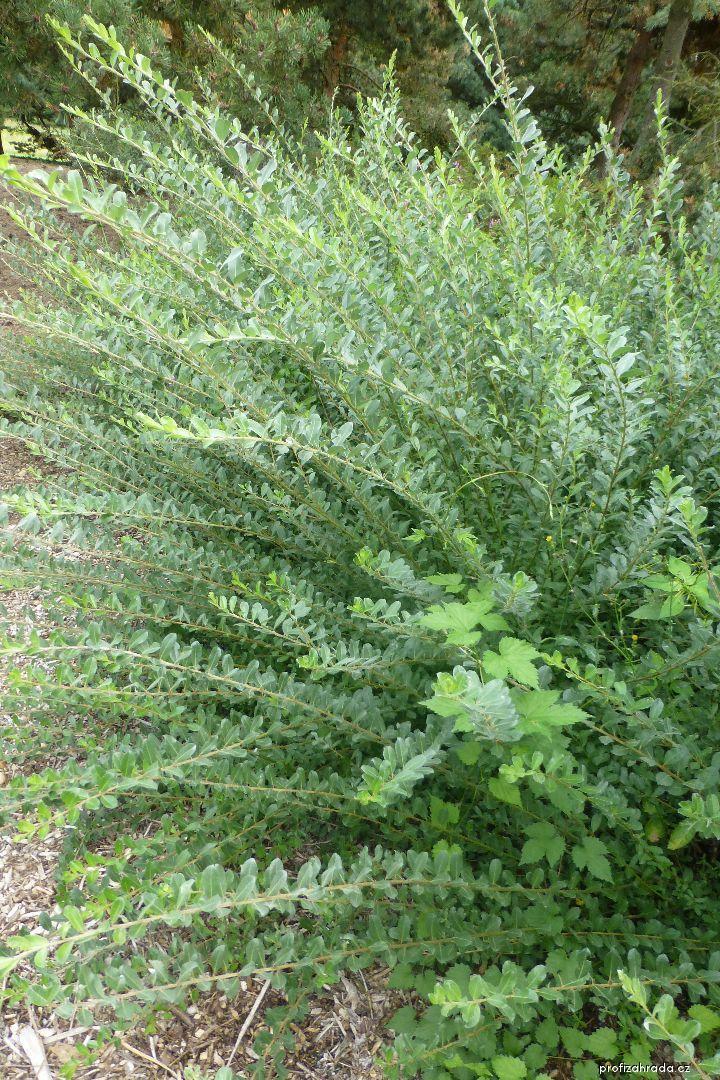 Vrba plazivá Bergen (Salix repens)