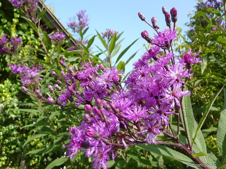 Vernonie - květ (Vernonia)