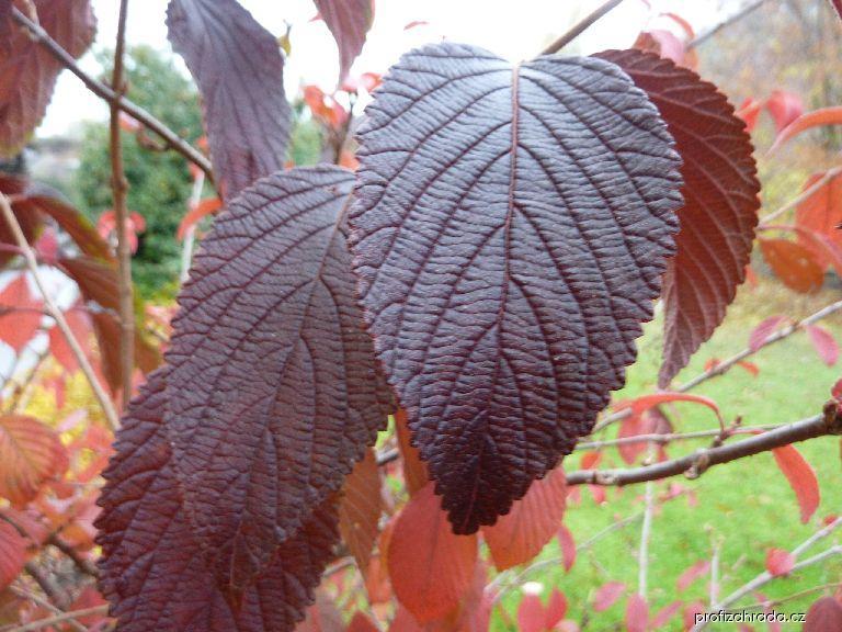 Kalina japonská (Viburnum plicatum)