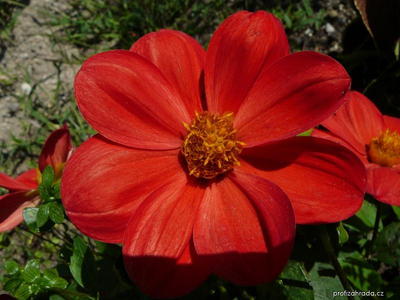 Jiřina zahradní (Dahlia pinnata)