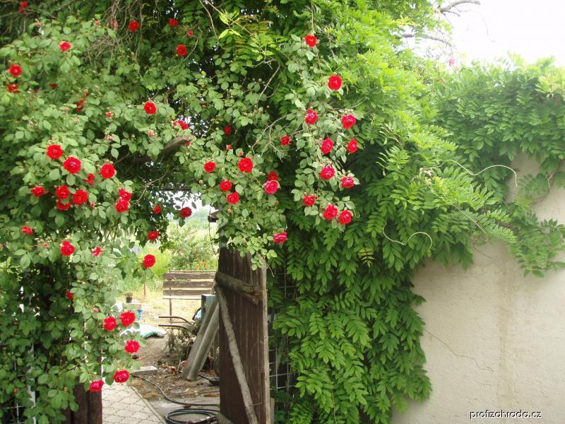 Pnoucí růže, vistarie