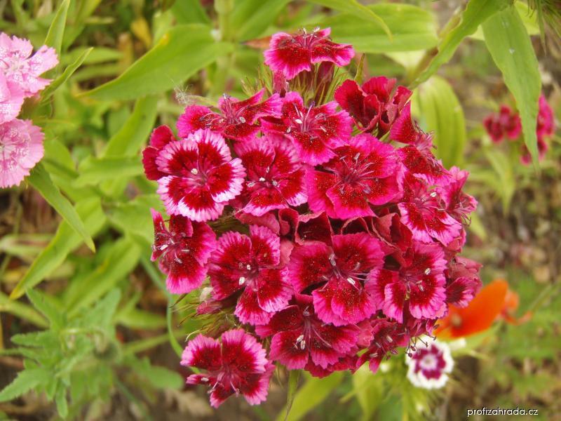 Hvozdík bradatý (Dianthus barbatus)