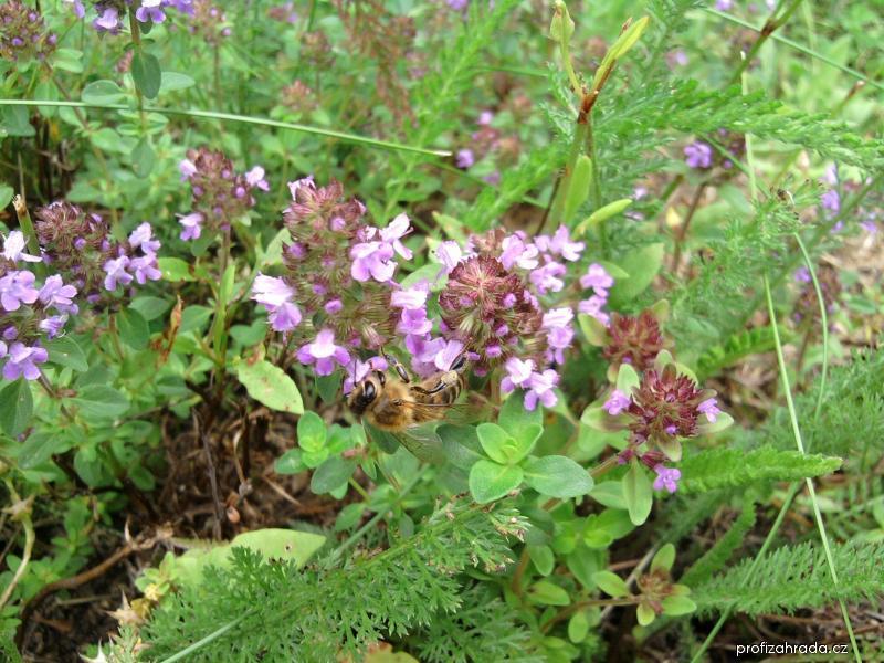 Mateřídouška - pro změnu se včeličkou
