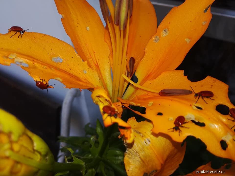 Chřestovníček liliový (Lilioceris lilii)
