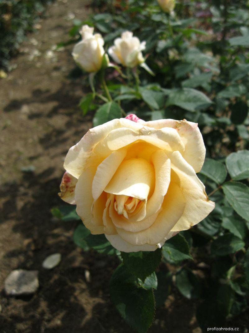 Růže Nette Ingeborg (Rosa sp)