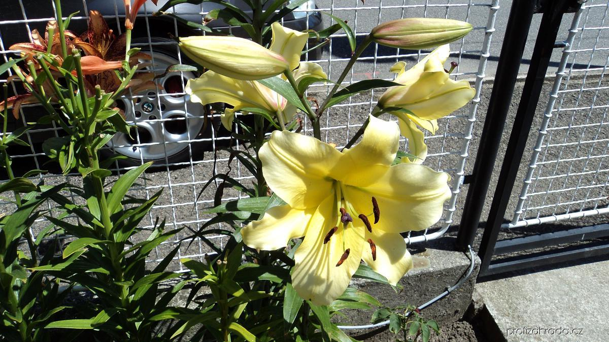 Lilie - Belladona, OT hybrid (Lilium x hybridum)
