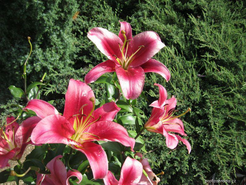 Lilie - Amarossi, OT hybrid (Lilium x hybridum)