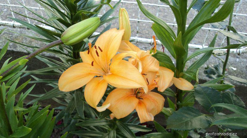 Lilie - Buff Pixie - Asijský nízký hybird (Lilium x hybridum)