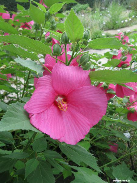 Ibišek bahenní (Hibiscus moscheutos)
