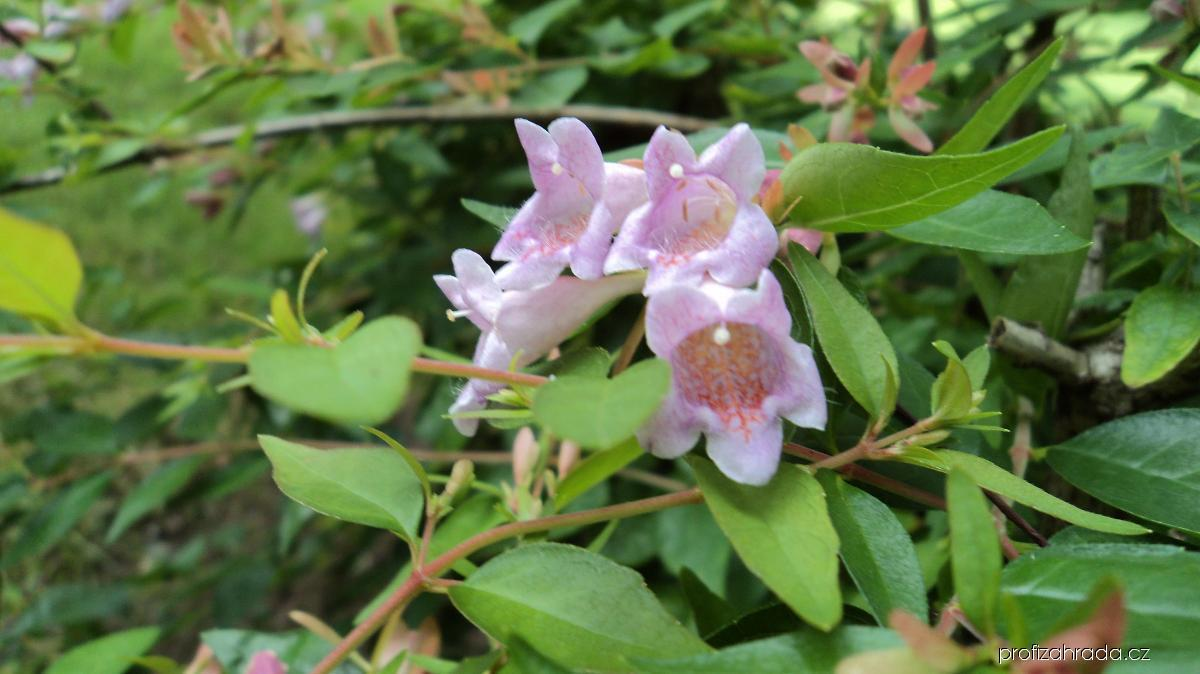 Abélie velkokvětá (Abelia grandiflora)