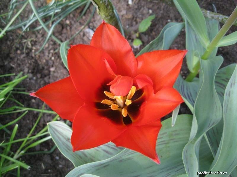Tulipán Scarlet Baby (Tulipa kaufmanniana)