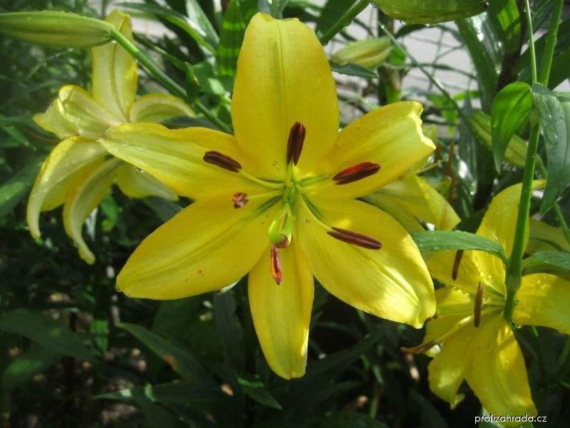 Lilie Kvintán - Asijský hybrid (Lilium x hybridum)