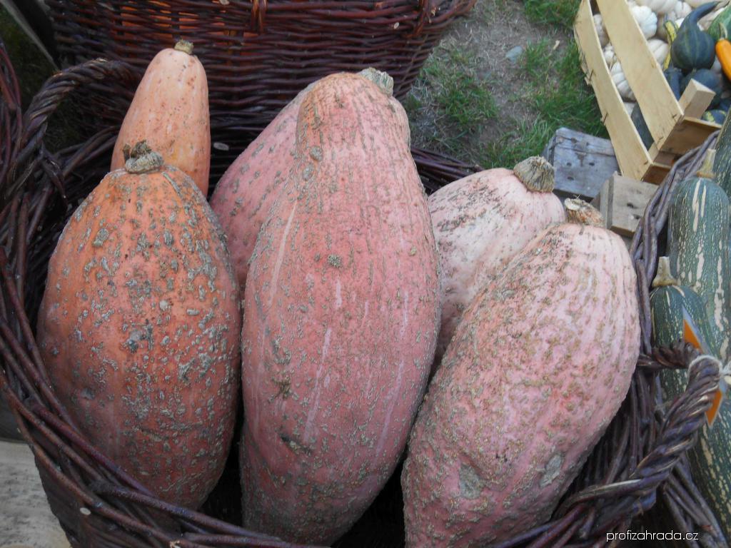 Tykev velkoplodá Pink Jumbo Banana (Cucurbita maxima)