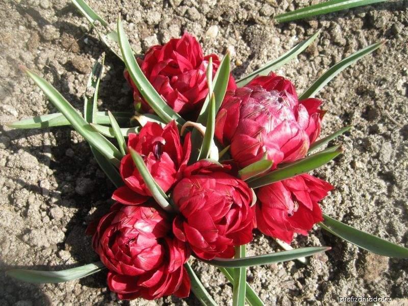 Tulipán Tete a Tete (Tulipa pulchella)