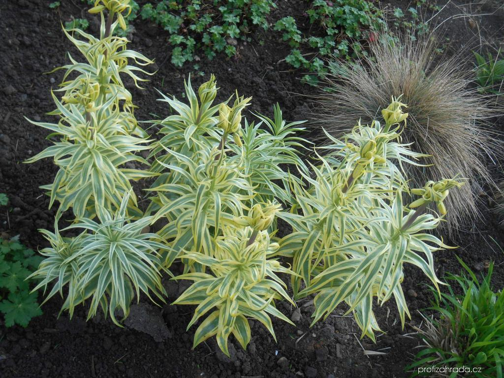Řebčík královský Aureomarginata (Fritillaria imperialis)