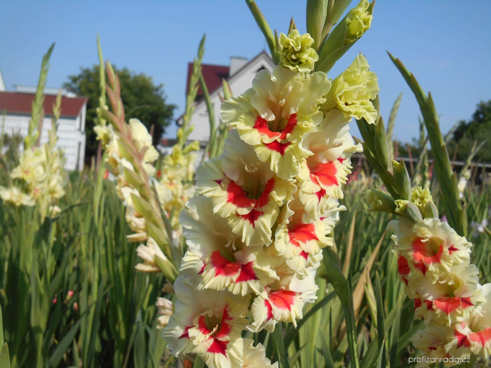 Mečík zahradní Esperanto (Gladiolus hortulanus)
