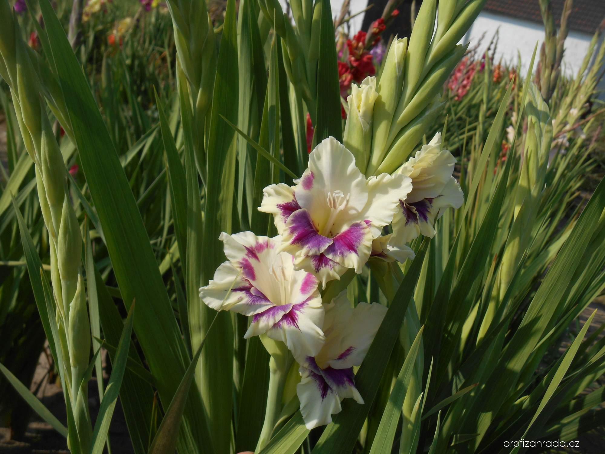 Mečík zahradní Goggle (Gladiolus hortulanus)