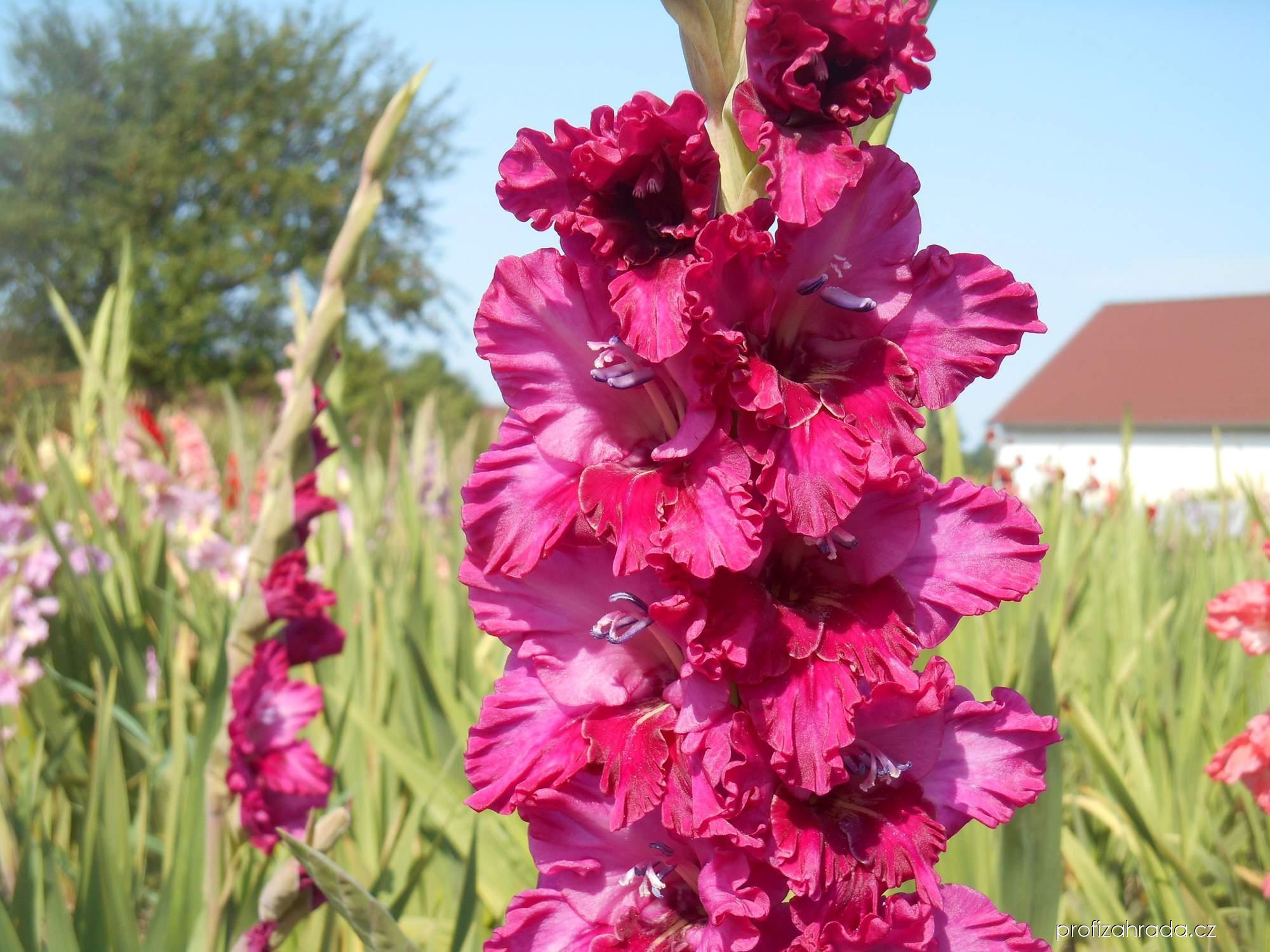 Mečík zahradní Hinodé (Gladiolus hortulanus)
