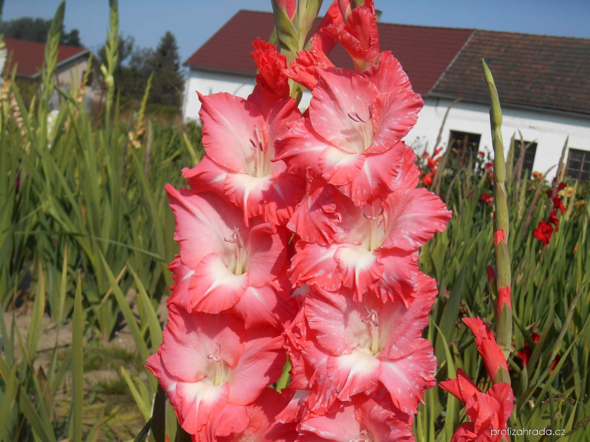 Mečík zahradní Heidi (Gladiolus hortulanus)
