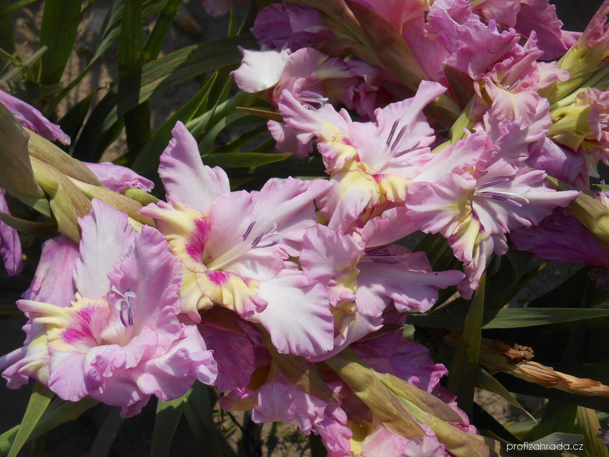Mečík zahradní Krašnajs Mantojums (Gladiolus hortulanus)