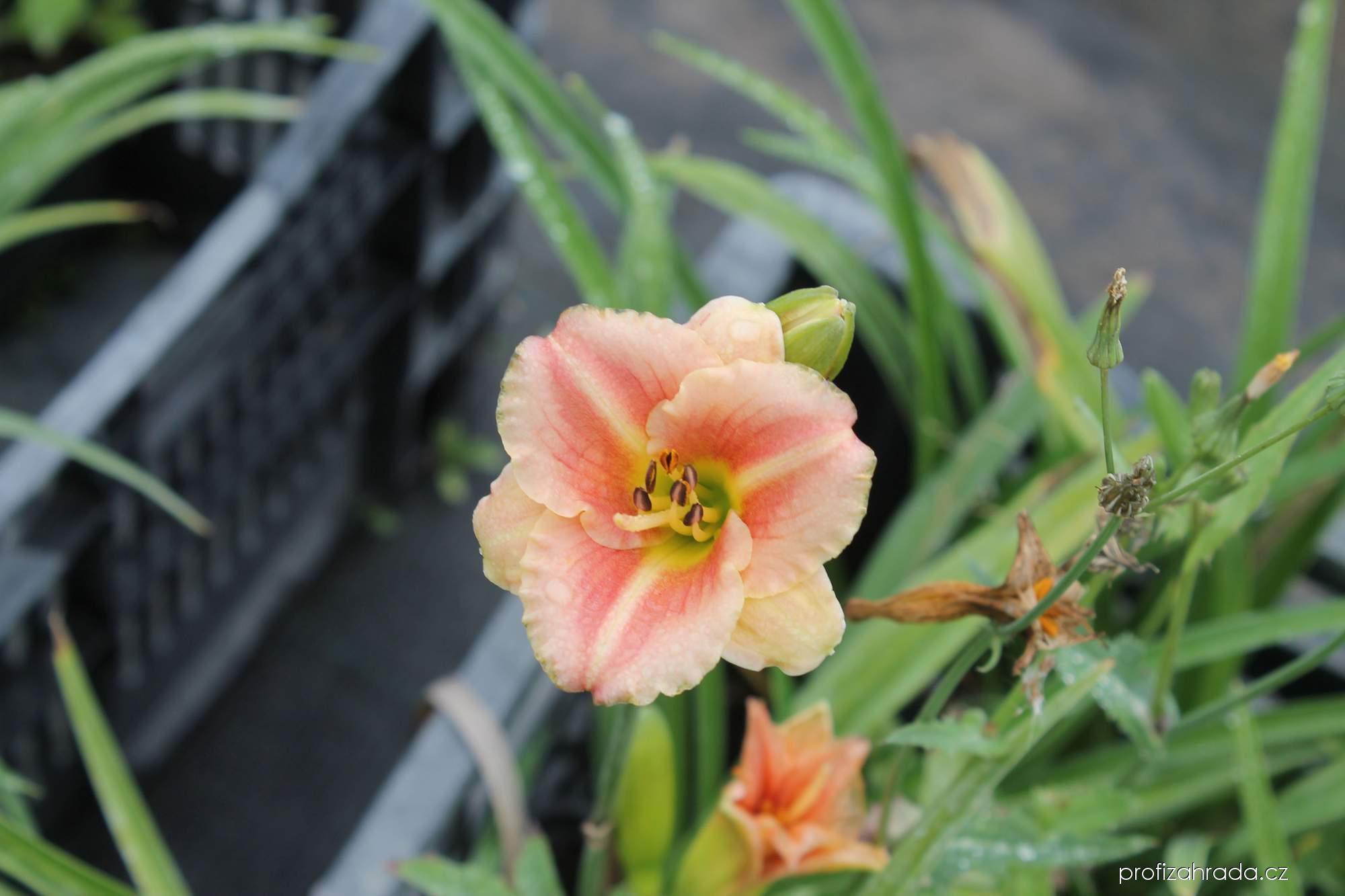 Denivka Little Anna Rosa (Hemerocallis hybrida)