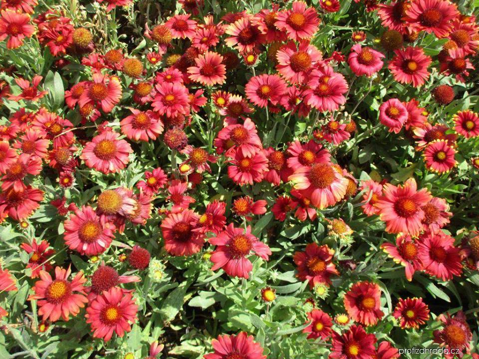 Kokarda osinatá Arizona Red Shades (Gaillardia aristata)